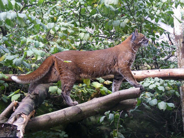 image-of-an-asian-golden-cat
