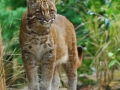asiatic-golden-cats