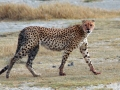 Asiatic cheetah taking a walk