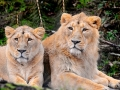 Two Asiatic lions