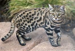 picture-of-a-black-footed-cat