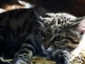 image-of-a-black-footed-cat