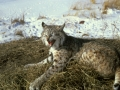 bobcat-lying-on-grass-picture