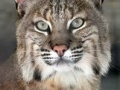 bobcat-picture