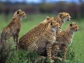 A cheetah family