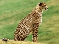 cheetah on the grass