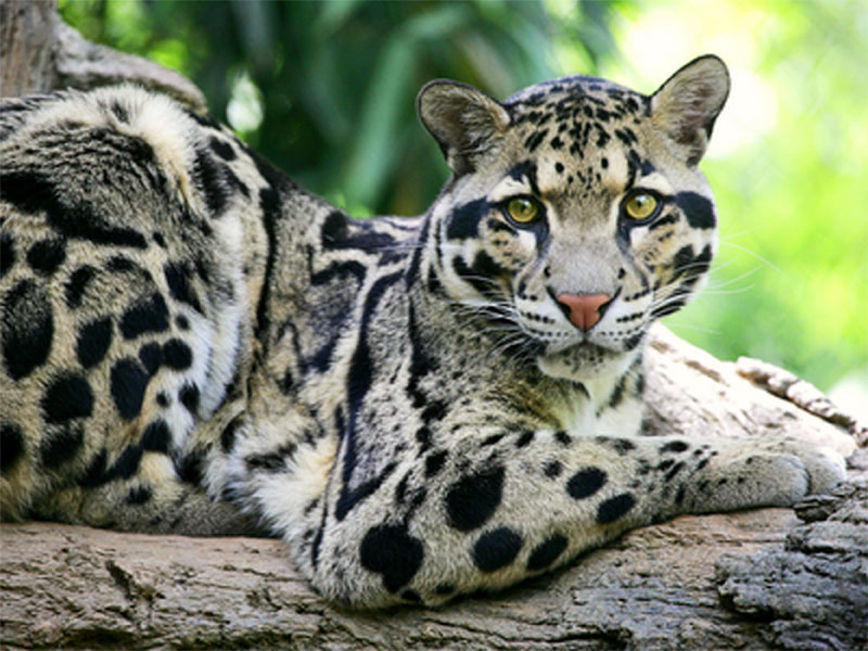 clouded leopard sitting on a branch