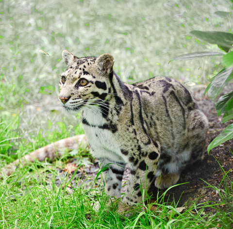 clouded leopard in the grass