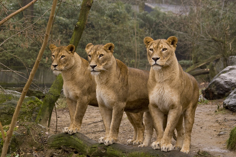 three female lions