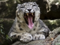 snow leopard growling