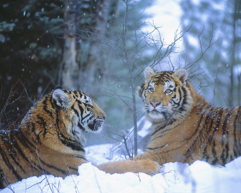 Siberian tigers in snow