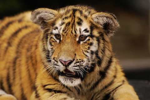 young tiger
