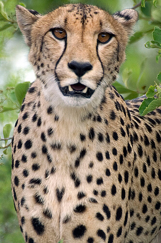 A male cheetah