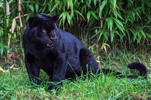 A black jaguar