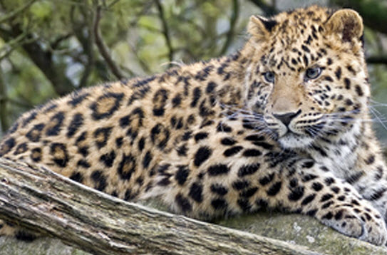 How fast are Amur leopards? And 9 other Amur leopard facts ...