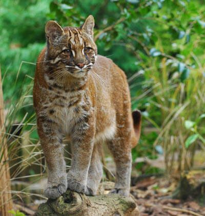 asiatic golden cats