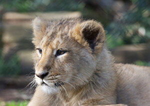 asiatic lion cub