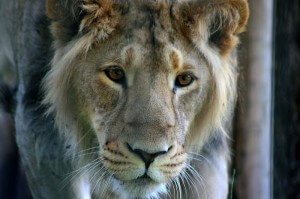 endangered asiatic lion