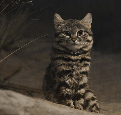 black-footed cats photo