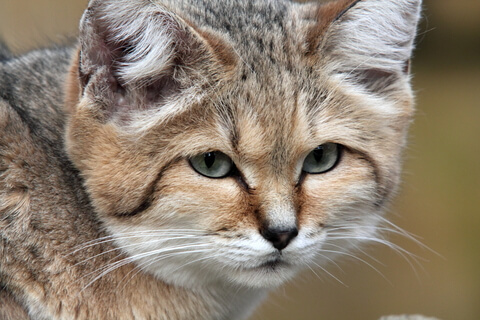 picture of a sand cat