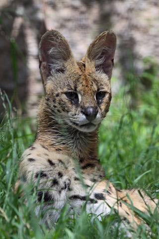 serval picture