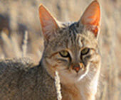 small wild cats list - african wild cat