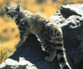 small wild cats list - andean mountain cat