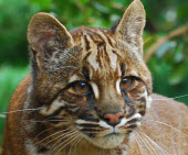small wild cats list - asiatic golden cat