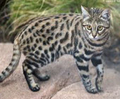 small wild cats list - blackfooted cat