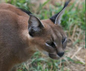small wild cats list - caracal