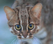 small wild cat rusty spotted cat