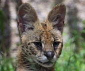 small wild cats list - serval