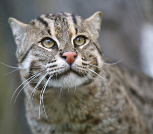 the fishing cat