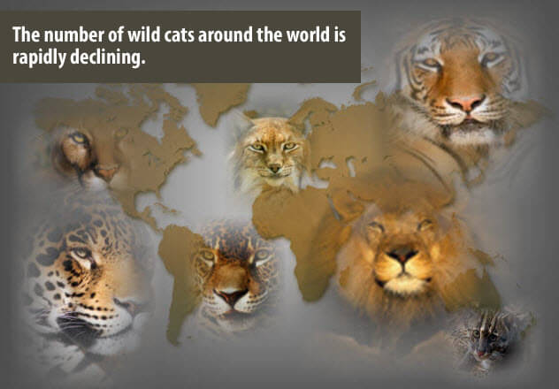 List of Wild Cats Types of Wild Cats Around The