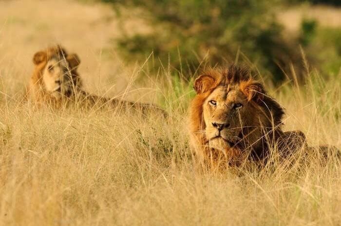 declining african lion population in uganda