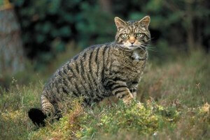 about small wild cats