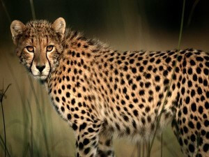 Asiatic cheetah image