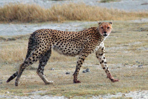 Asiatic cheetah walking