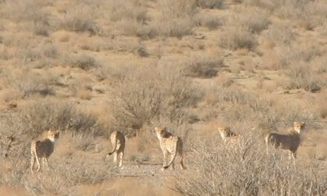 asiatic cheetahs in iran