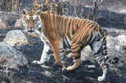 russian team traiing to protect tigers