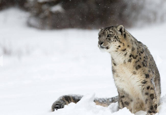 track capture and tag a snow leopard