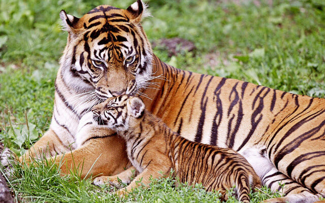 Tiger with Cub - Global Tiger Day July 29
