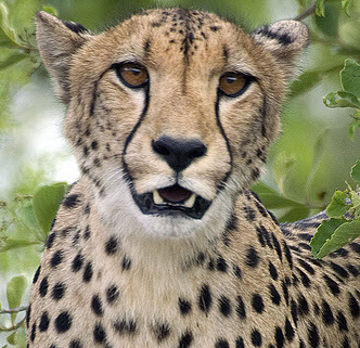 Owning cheetahs - a status symbol in the Middle East