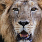 10 Asiatic lions killed in flood