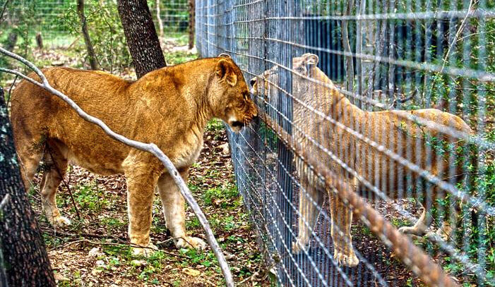 canned lion hunting