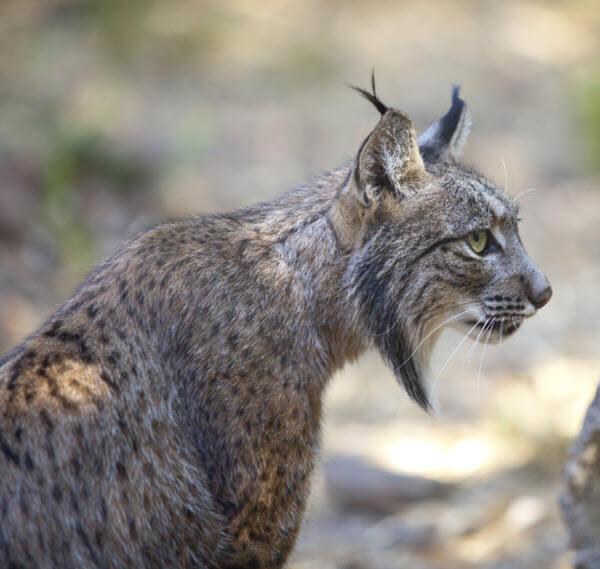 Iberian Lynx Conservation