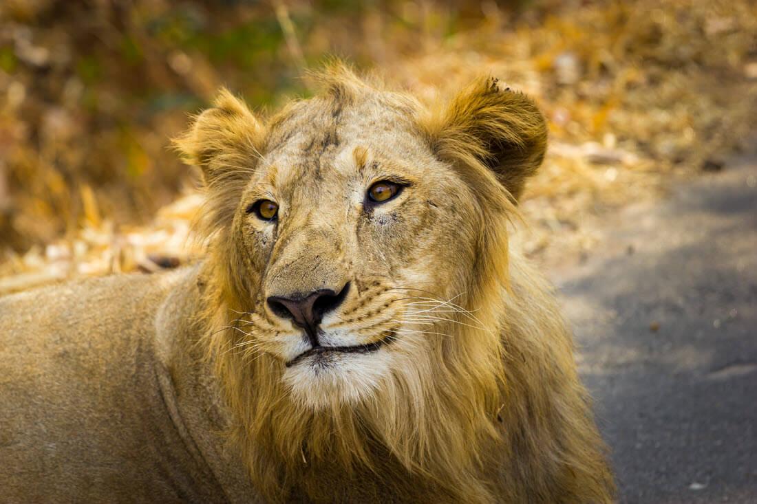 Asiatic Lion: Asian Lion Species Facts, Conservation